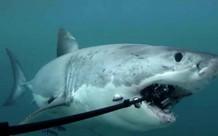 Lý do gì khiến cá mập thích cắn cáp quang biển?