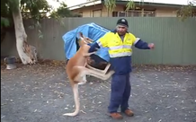 Ngứa cựa, chú kangaroo gạ kèo boxing với anh công nhân, tung