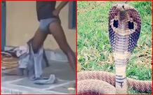Bị rắn hổ mang bò vào quần, nam thanh niên