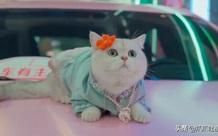 Chú mèo chuyên nằm nóc xe hơi chỉ chơi với ngủ nhận 50 triệu đồng/ buổi giúp