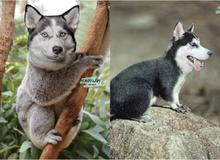 """Bộ ảnh chú Husky mặt ngáo """"phối giống"""" với cả thế giới khiến người xem thấy sai vô cùng"""
