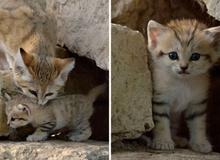 Sự thật thú vị về Mèo Cát - loài 'tiểu hổ' duy nhất có thể sống trên sa mạc