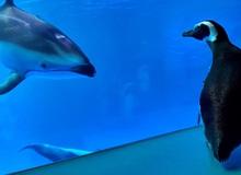 Thủy cung đóng cửa phòng dịch, chim cánh cụt tung tăng đi tham quan và gặp gỡ các loài vật khác