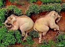 """Buồn đời, hai chú voi """"mượn rượu giải sầu"""" rồi say bí tỉ nằm ôm nhau trong bụi cây"""