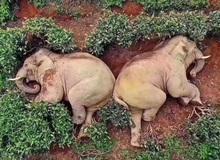 Thực hư câu chuyện đàn voi đột nhập vào ngôi làng để kiếm ăn nhưng uống nhầm 30kg rượu ngô rồi say bét nhè