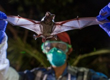 Các nhà khoa học vừa phát hiện thêm 6 chủng virus corona mới trên quần thể dơi ở Myanmar