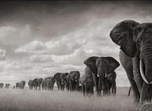 1001 thắc mắc: Vì sao voi mang thai lâu nhất trong các loài?