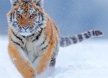 """160.000 người khắp thế giới rủ nhau bỏ phiếu xem loài nào """"đẹp trai"""" nhất thế giới động vật"""