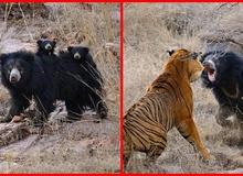 """""""Tử chiến"""" để bảo vệ con, gấu lợn mẹ khiến hổ dữ nhận thất bại vô cùng tủi hổ"""