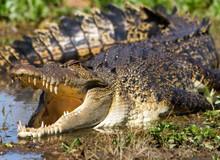 Top 5 điều kỳ thú về cá sấu nước mặn - loài bò sát đáng sợ nhất Trái Đất hiện tại, điều cuối sẽ khiến bạn rùng mình đấy