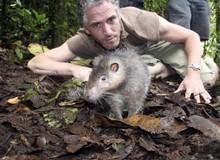 Ớn lạnh trước loài chuột khổng lồ: Dài tới cả mét, chưa biết sợ người là gì