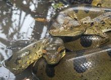 """Giải mã bí ẩn: Chuyện """"hoan lạc"""" của loài rắn thú vị thế nào? (P.2)"""