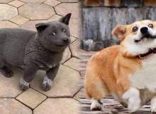 Gensaku: Idol mới nổi của làng chó Nhật, đáng yêu không kém Nguyễn Văn Dúi