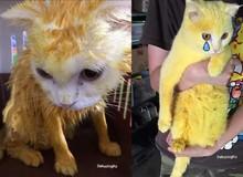 Chữa nấm bằng bột nghệ, bé mèo trắng trẻo bị nhuộm thành Pikachu
