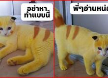 """Chú mèo """"Pikachu"""" nổi như cồn sau khi được chữa bệnh bằng phương pháp dân gian"""