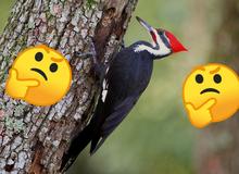 Vì sao chim gõ kiến mổ liên tục mà không bị nhức đầu?