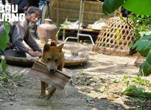 """Những thử thách khi huấn luyện """"Cậu Vàng"""" - Chú chó đảm nhận vai chính đầu tiên trên phim điện ảnh Việt Nam"""