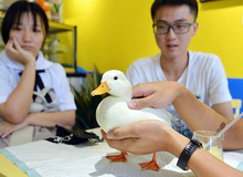 """Chán chó mèo, giới trẻ Trung Quốc rủ nhau """"chơi"""" vịt cảnh, một con ngang giá hai chiếc iPhone 12"""