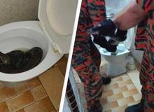 Cơn ác mộng của nhân loại: Đang đi vệ sinh thì bị con trăn dài 3m trốn trong bồn cầu cắn vào mông