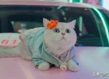 """Chú mèo chuyên nằm nóc xe hơi chỉ chơi với ngủ nhận 50 triệu đồng/ buổi giúp """"sen"""" đổi đời"""