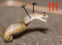 Bị rắn cắn vào chân, người đàn ông cắn lại, con rắn kịch độc lăn ra chết