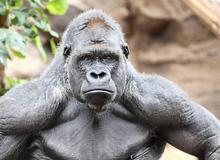 Tại sao khỉ đột, tinh tinh và chuột túi hầu như không cần phải tập luyện sức mạnh mà cơ bắp của chúng vẫn cực kỳ phát triển?