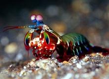 Bí ẩn loài tôm bọ ngựa có cú đấm nhanh hơn đạn bắn, khiến khoa học cũng phải đầu hàng