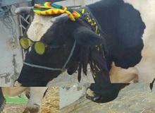 Một cặp vợ chồng được thưởng cả con bò vì chơi game giỏi