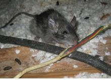 Khốn khổ quán net bị chuột làm tổ trong hộp máy, cắn dây tan tành