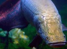 """Phát hiện loài cá được mặc """"áo chống đạn"""" vùng Amazon, chống lại được cá hổ Piranha"""