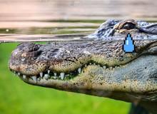 Zimbabwe: Bé gái 11 tuổi nhảy lên lưng cá sấu, chọc vào mắt nó cứu bạn thoát chết