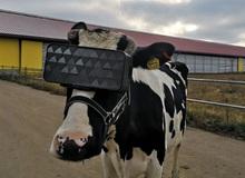 Cho bò sữa xem phim thực tế ảo và hiệu quả không ngờ
