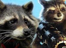 Chú gấu mèo Oreo - người truyền cảm hứng cho nhân vật Rocket đã qua đời