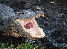 Mỹ: Tội phạm xả ma túy xuống bồn cầu làm cá sấu bị nghiện