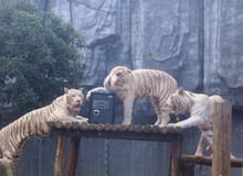 Sở thú mở dịch vụ cất giữ giấy đăng ký kết hôn trong chuồng hổ cho đỡ... chia tay