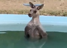 Lại là nắng nóng ở Úc: Con kangaroo thản nhiên lao vào bể bơi nhà dân để ngâm mình cho nó mát