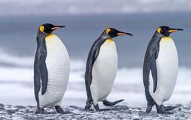 Nghiên cứu mới: Phân chim cánh cụt tạo ra khí gây cười, hít thở không khí trong khu vực thôi cũng đủ