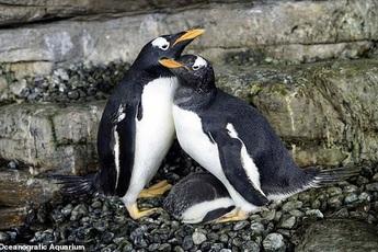 Drama sở thú: Cặp cánh cụt đồng tính đực trộm trứng của đôi cánh cụt đồng tính cái về ấp, nhưng đời không như mơ