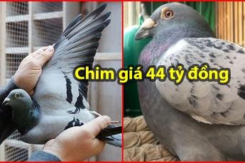 Đại gia giấu mặt bỏ gần 2 triệu USD mua 1 chú chim bồ câu, lý do thực sự mới gây sốc