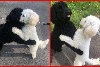 Hai chú poodle ôm chầm lấy nhau khi chạm mặt, dân mạng cảm động khi biết quan hệ của chúng