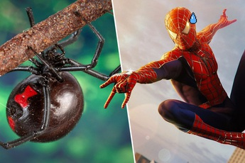 """3 anh em tự cho con nhện độc nhất thế giới cắn nhằm """"biến thành Spider-man"""""""